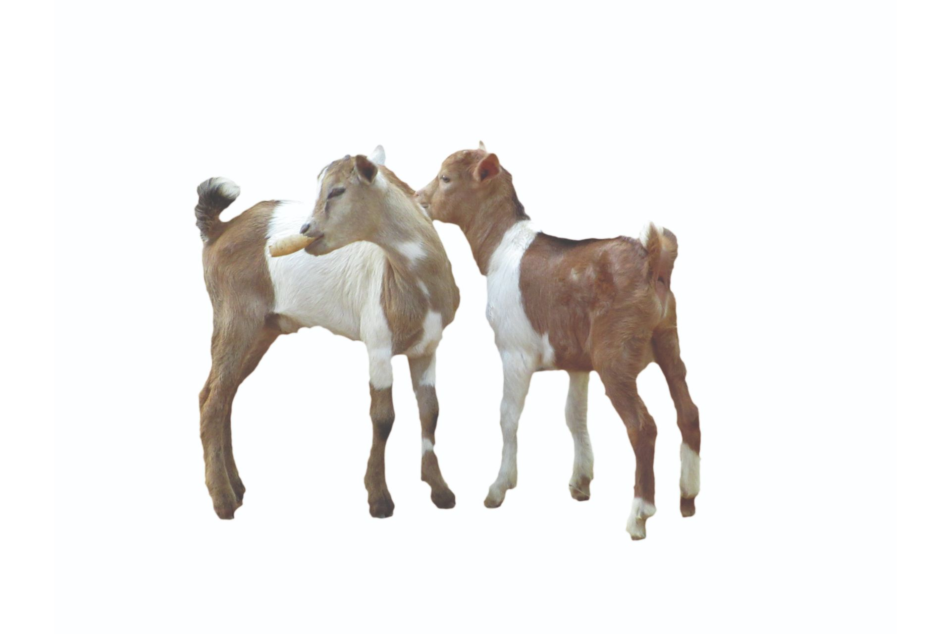 goats on a white background